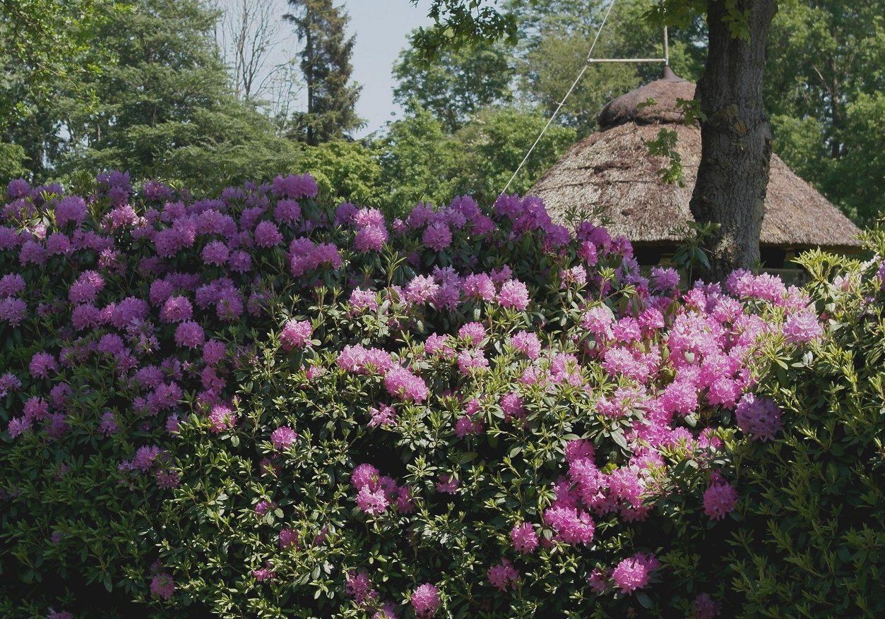 golfplatz-ostfriesland-rhododendronbluete