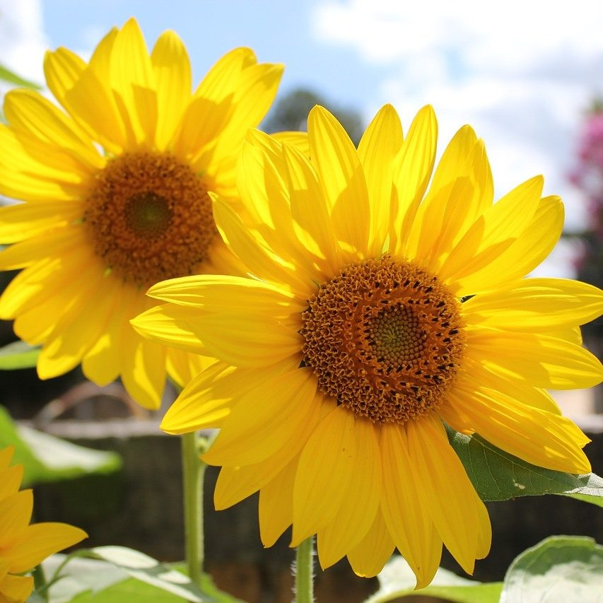 sunflower-2993669_1280